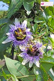 passion flower passiflora my perfect garden