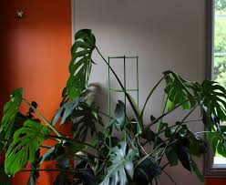 monstera deliciosa house plant journal u2014 house plant journal