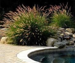 ornamental grass maintenance