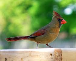 northern cardinal a true southeast native birds and blooms