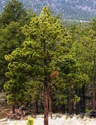 white pine tree ponderosa pine for sale low prices from tn tree nursery