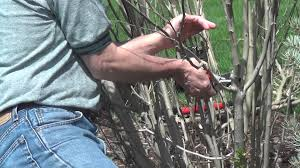 pruning a rose of sharon youtube