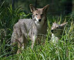 san diego residents dealing aggressive coyotes kill