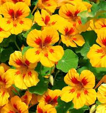 nasturtium flowers how to grow nasturtiums