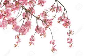 cherry tree blossom up stock photo picture and royalty free