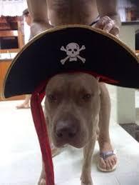 american pitbull terrier 9 meses american bully 2 meses e 10 dias taigher pet pinterest