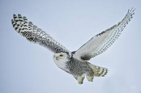 realistic snowy owl drawing more information