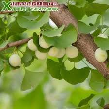 lychee trees seedlings litchi lychee zengcheng gualv king the