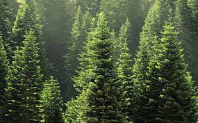 pine trees pictures images and stock photos istock