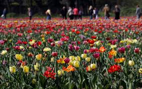 blooming fields of tulips in milan italy