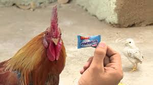 K Hencenter New Mentos Ad Angry Chicken Dad Farakpadega Youtube