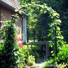 all about vignettes climbing hyacinth bean vine