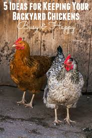 Chickens For Backyards by 5 Ideas To Keep Your Backyard Chickens Busy Happy Mothering