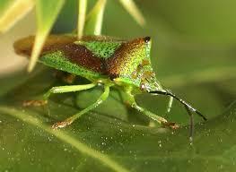 Bean Leaves Bed Bugs Hemiptera Wikipedia