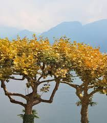 ornamental trees with yellow leaves stock photos image 26460503