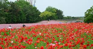 hitachi seaside park u2013 a wide variety of seasonal flower gardens
