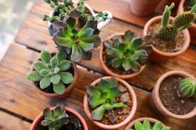 free stock photo of succulent succulents