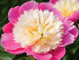 pink peonies nursery klehm s song sparrow farm and nursery peonies paeonia