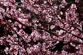 on the timetable of ornamental cherry trees in bloom
