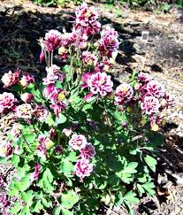 columbine plant growing columbine how to grow aquilegia for bell shaped flowers