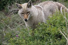 Coyote In My Backyard Whom Should You Call If You Spot A Coyote