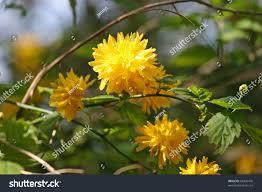 Yellow Flowering Bushes And Shrubs Yellow Flowering Shrub Stock Photo U0026 Image Royalty Free 89396476
