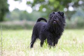 affenpinscher venta mexico affenpinscher u2013 photos characteristics information u2013 dog breeds