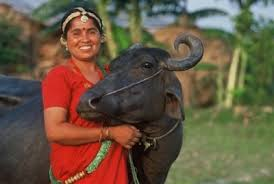 heifer international heifer international giving the gift of through cows borgen
