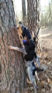 bluetick coonhound treeing 109147257 jpg