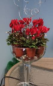 18 best cyclamen images on pinterest flowers christmas flowers