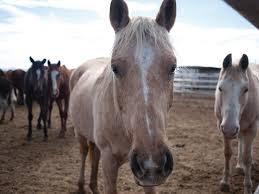 Used Horse Trailers For Sale In San Antonio Texas The Horse Export Business Booms In The Texas Borderlands