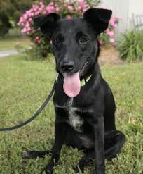 belgian shepherd labrador retriever mix back in black adoptable dog of the day may 14 2012 dogtime