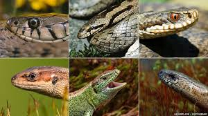 english pattern snake guides bbc nature how to identify uk reptiles