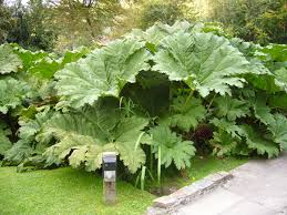 plants native to ireland gunnera manicata wikipedia