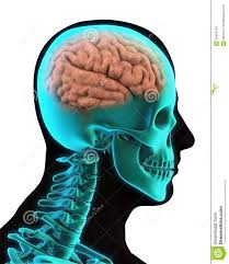 photos brain anatomy in human body human anatomy diagram