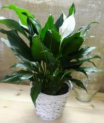 Peace Lily Plant Peace Lily Peace Lily Plant In A Basket In Hardwick Vt The