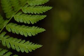 Free Picture Leaf Nature Fern Free Images Tree Nature Branch Flower Green Botany Flora