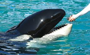 what can killer whales teach us about menopause public radio