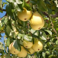kieffer pear tree for sale fast growing trees