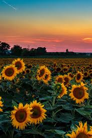 sunflower pictures beautiful sunflowers flowers sunflowers flowers