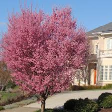 flowering cherry trees fast growing trees