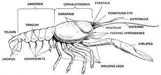 crayfish dissection biology junction