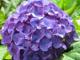 purple hydrangea hydrangea flowers images 104 photos