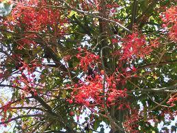 australian native plants sydney kurrajong aboriginal use of native plants