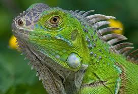 imágenes de iguanas verdes islas caimán lanza programa para reducir población de iguanas verdes