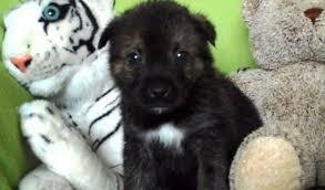 australian shepherd x rottweiler nori u2013 1 month old male akita cross rottweiler dog for adoption