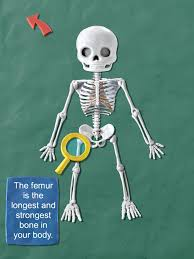 skeletal system facts human anatomy charts