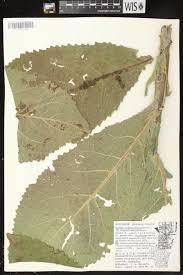 University Of Wisconsin Map by Online Virtual Flora Of Wisconsin Verbascum Densiflorum
