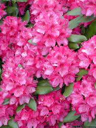 native plants of the pacific northwest coast rhododendron or pacific rhododendron native to the pacific