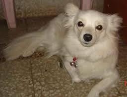 american eskimo dog in india news